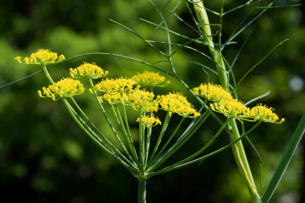 Blüte des Gewürzfenchels