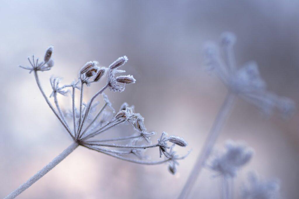 Gewürzfenchel im Winter