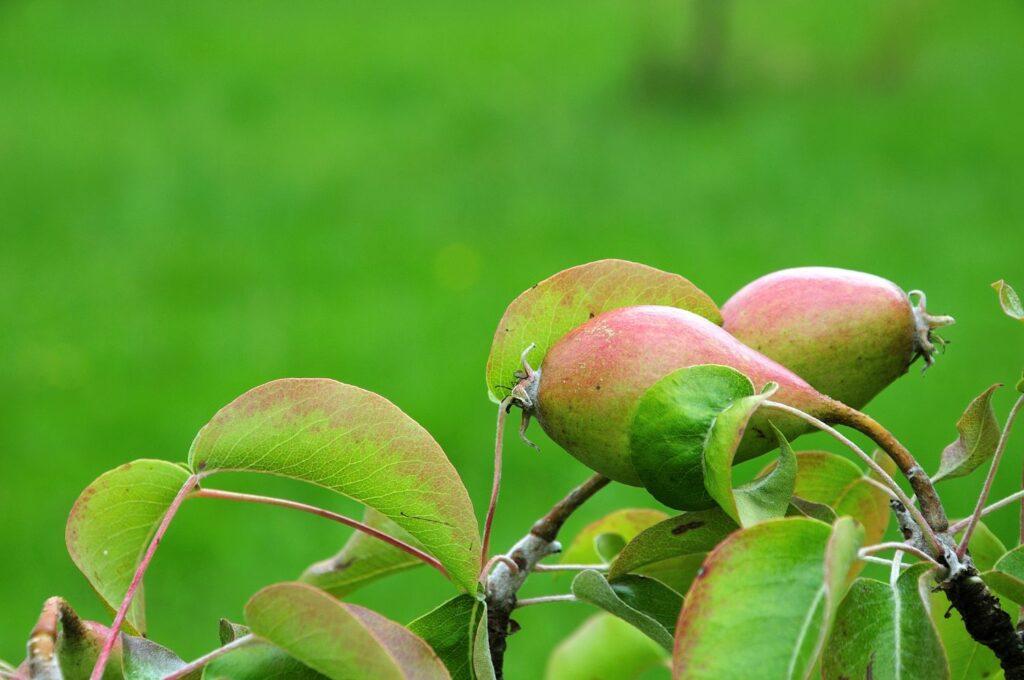 Früchte der Birnensorte 'Gräfin von Paris'