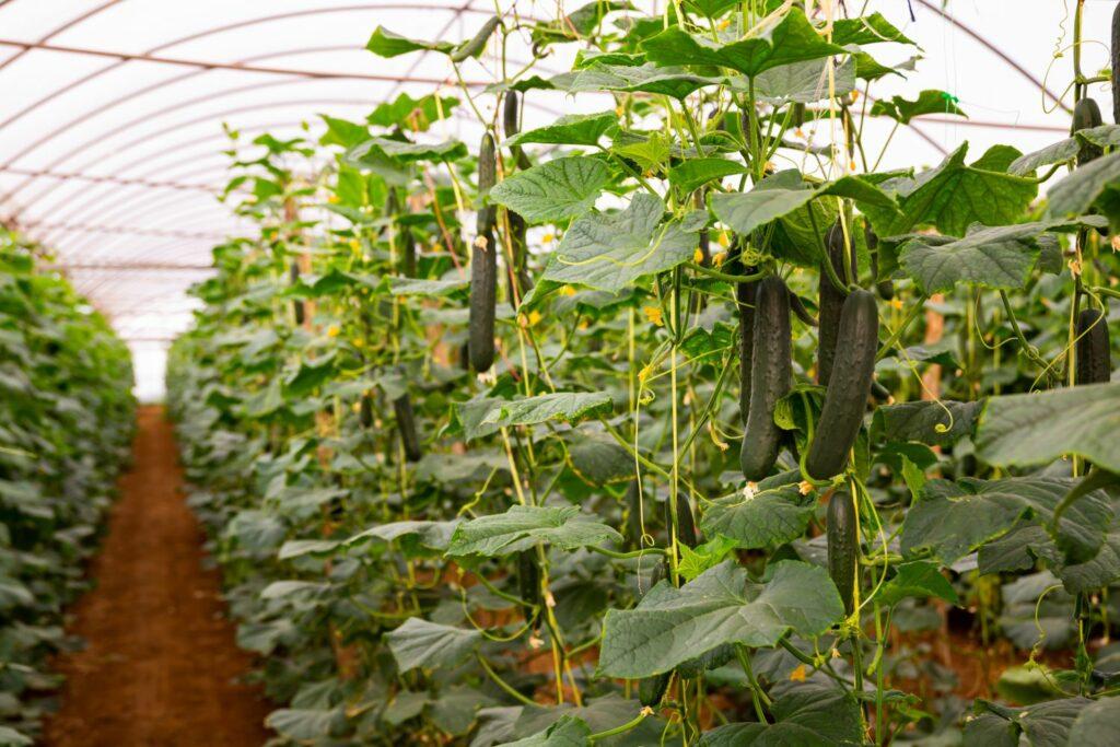 Gurkenpflanzen im Gewächshaus