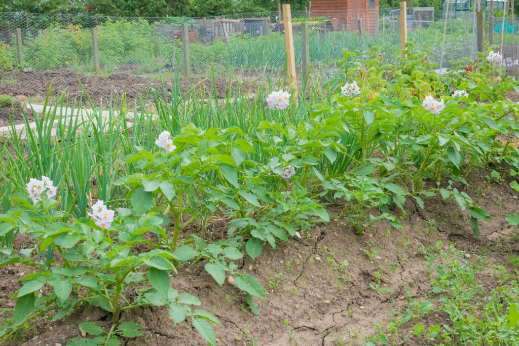 Knoblauch und Zwiebeln neben Kartoffeln