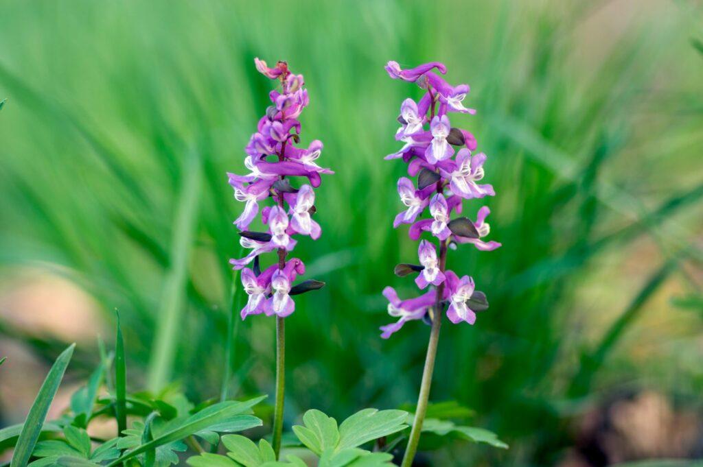 Violetter Lerchensporn