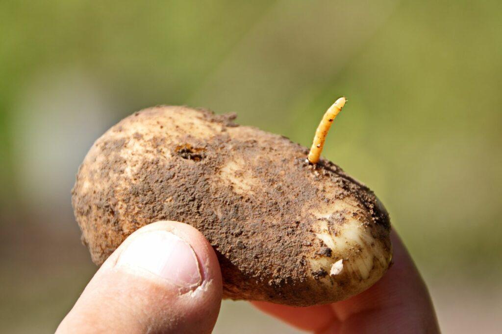 Fraßspuren an Kartoffeln