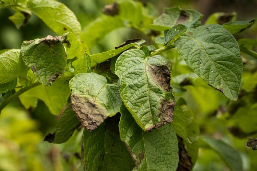 Kartoffelpflanze mit Braunfäule