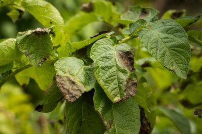 Kartoffelkrankheiten & häufige Schädlinge: Erkennen, Vorbeugen und Bekämpfen