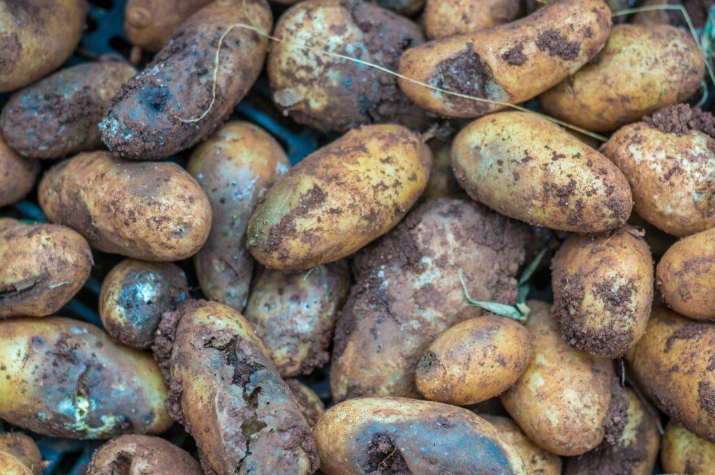 Geerntete Kartoffeln mit Braunfaeule