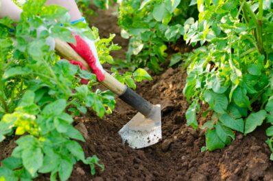 Kartoffeln pflegen: Gießen, Vermehren & Überwinterung