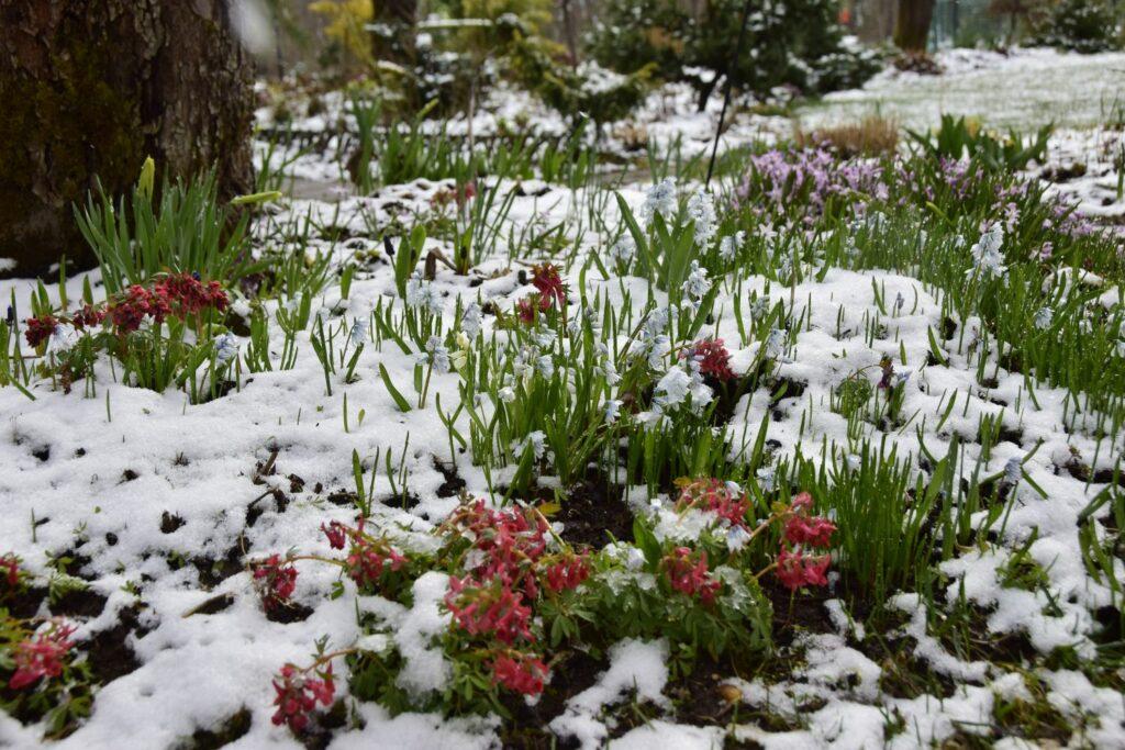 Lerchensporn im Schnee