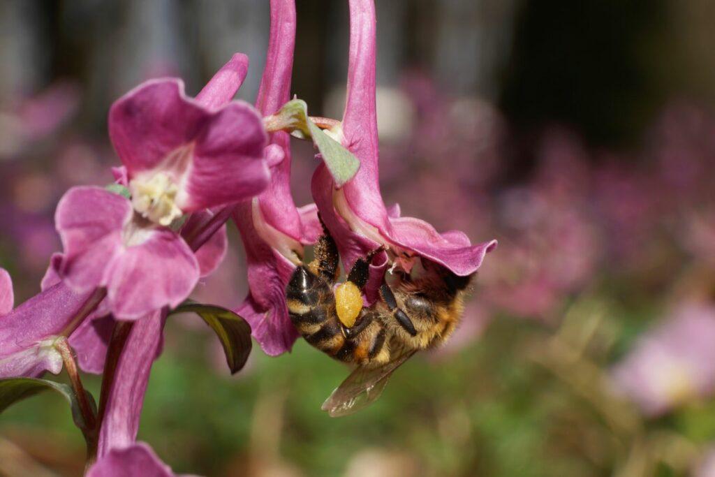 Biene auf einem Lerchensporn
