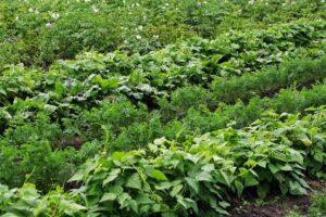 Mischkultur bei Kartoffeln: Gute Nachbarn, Fruchtfolge & Co.