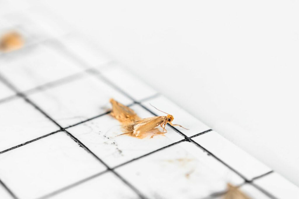 Klebefalle mit Motten