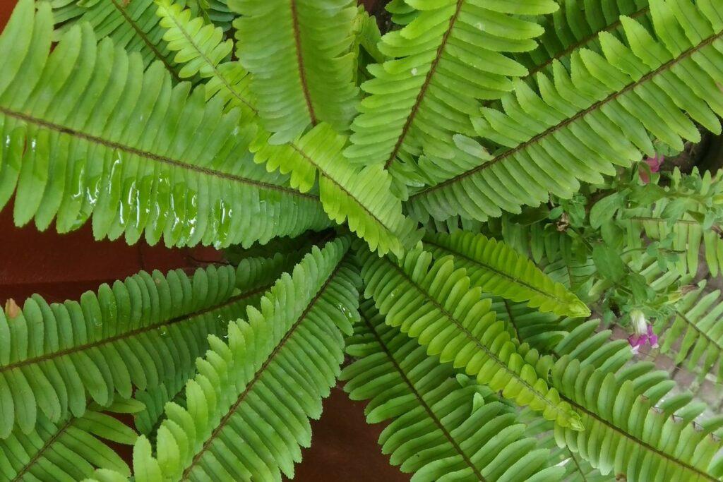 Schwertfarn mit neuen Blättern
