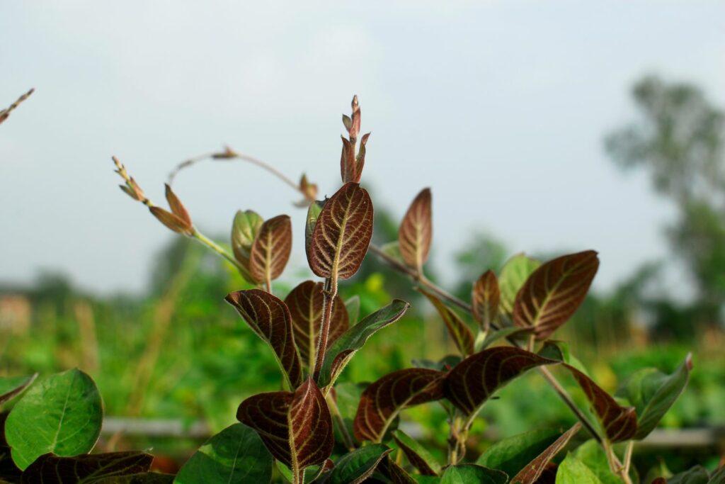 Käsekraut-Blätter