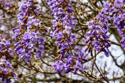 Paulownia: Pflanzen, Pflege & die schönsten Arten