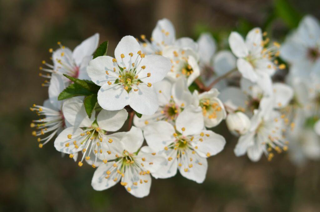 Blüten von Renekloden