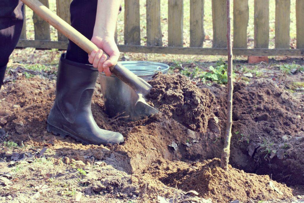 Reneklodenbaum wird gepflanzt