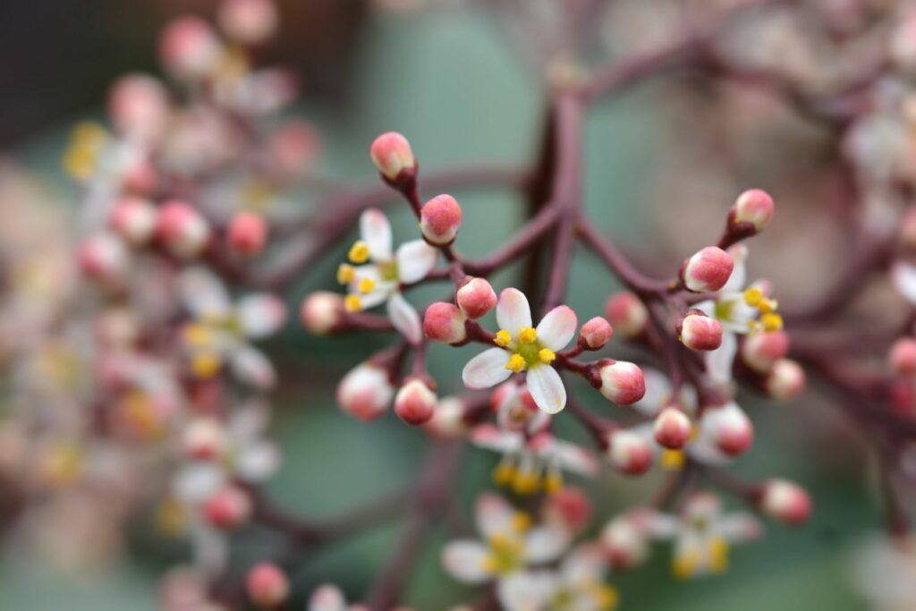 Männliche Skimmia-Blüten