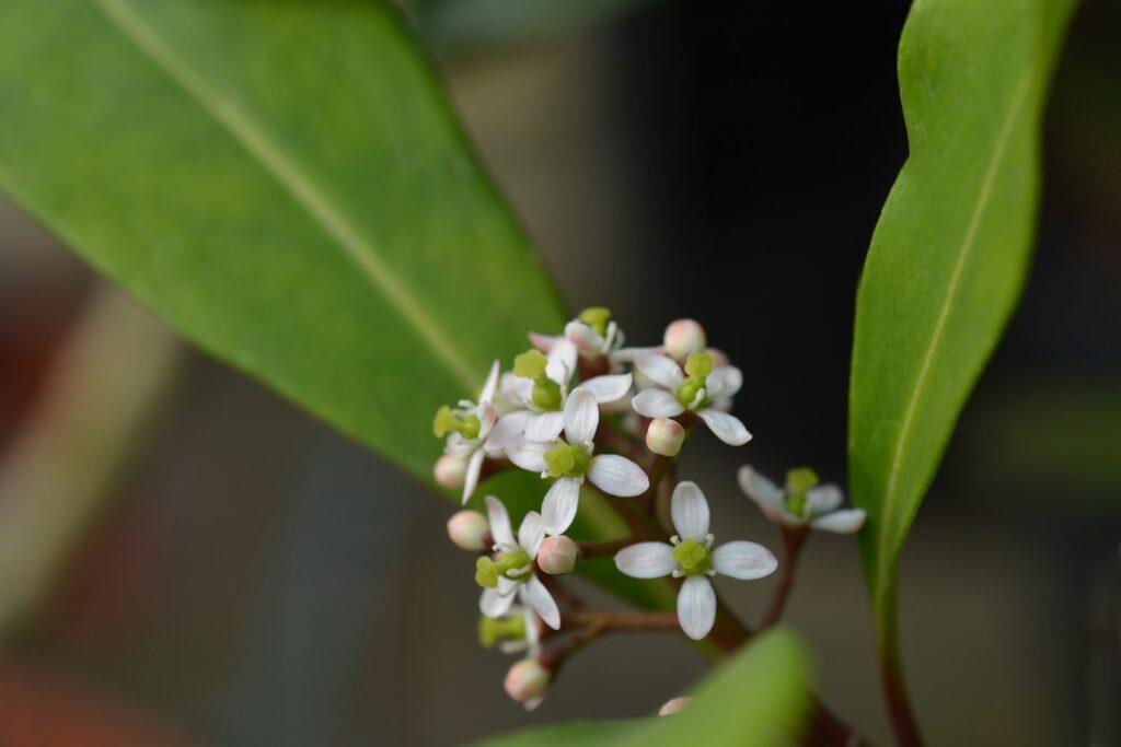Weibliche Skimmia-Blüte
