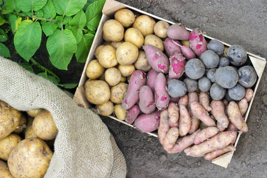 Spätkartoffeln