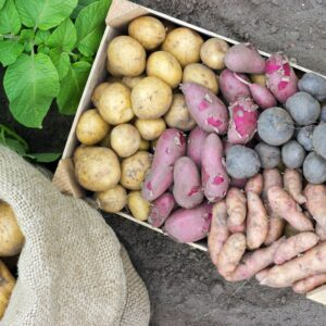 Spätkartoffeln: Sorten, Pflanzen & Ernte