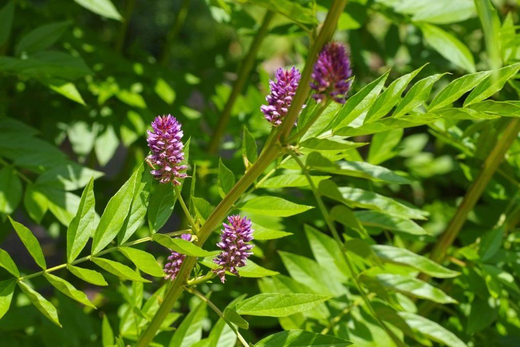 Süßholzpflanze