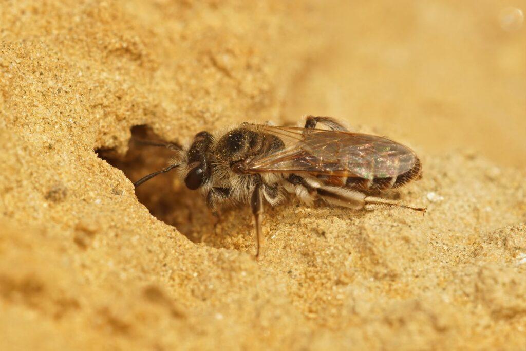 Sandbiennest im Boden