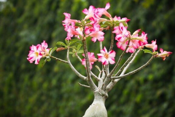 Wüstenrose: Pflege, Vermehren & die schönsten Sorten von Adenium