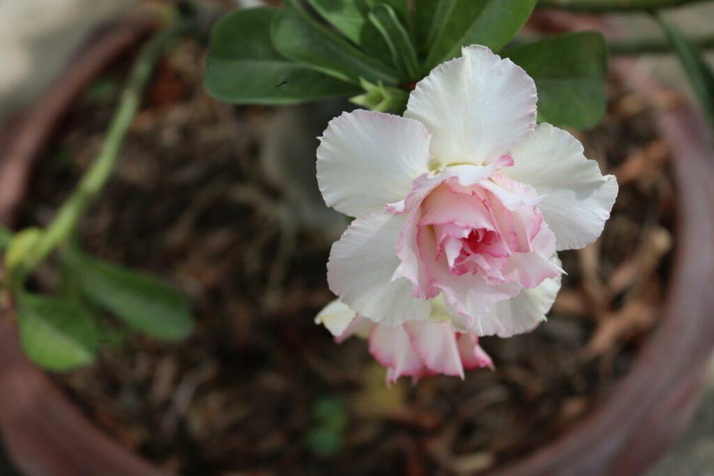 Wüstenrose mit gefüllter Blüte
