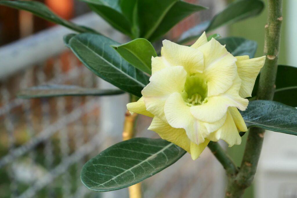 Wüstenrose mit gelber Blüte