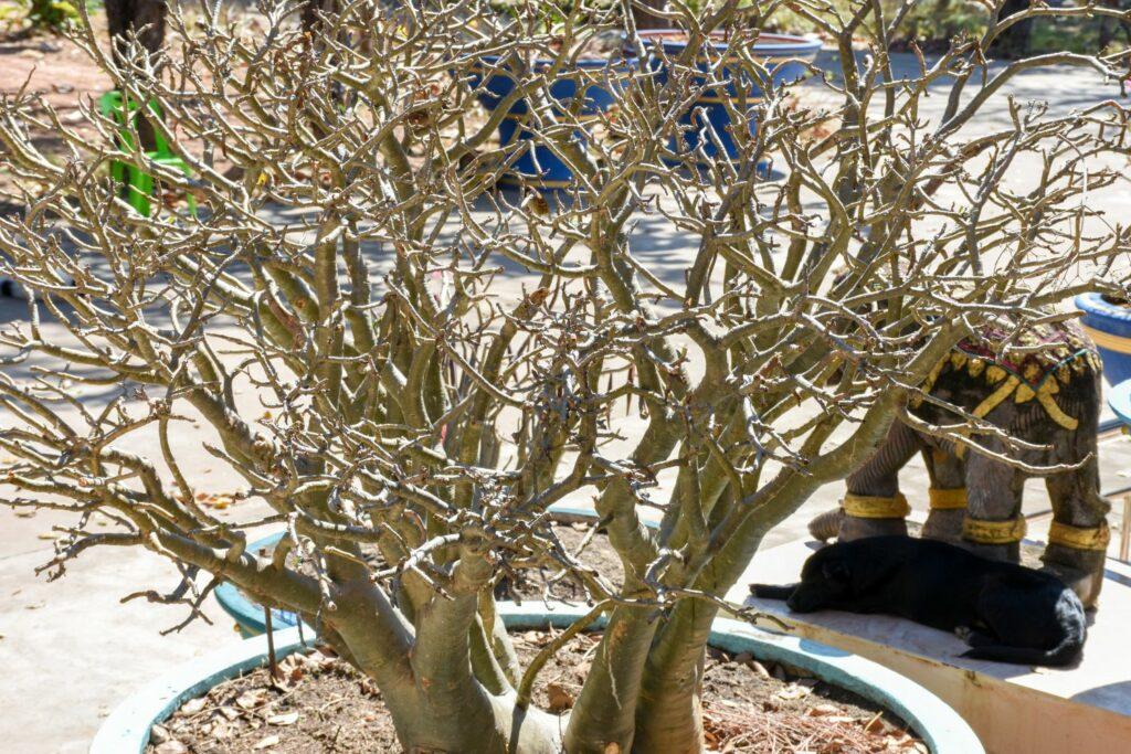 Wüstenrose im Winter
