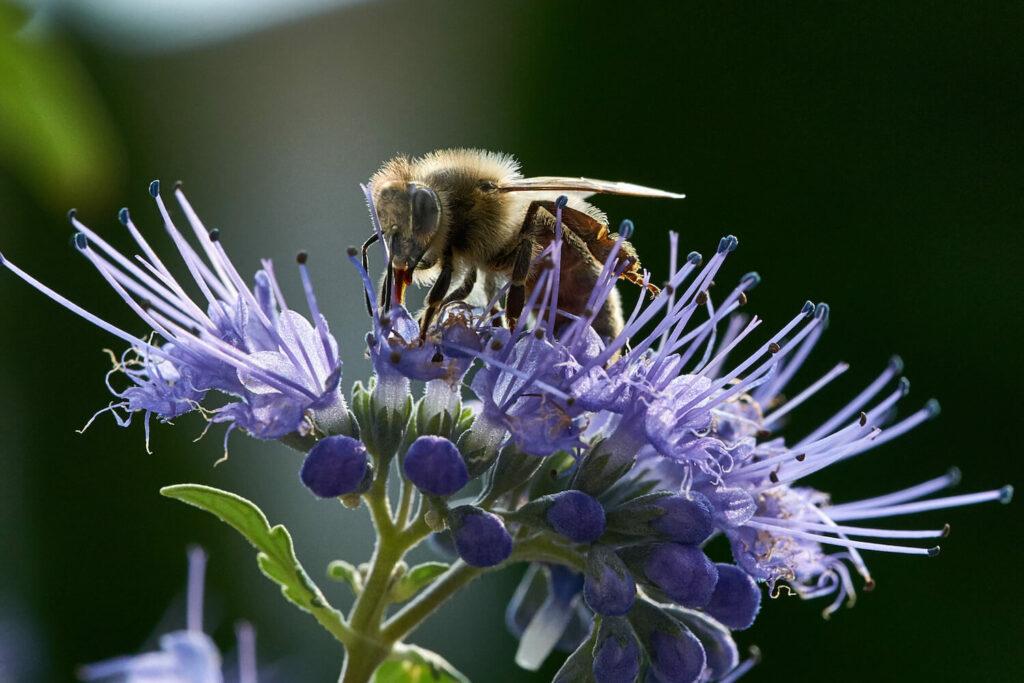 Biene auf einer Bartblume