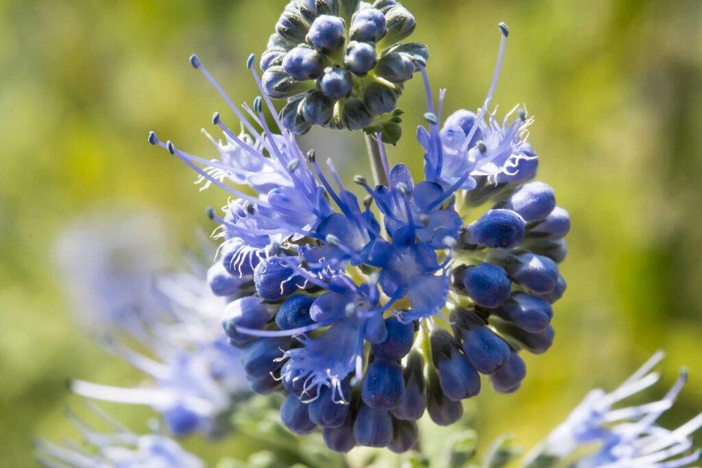Kugelförmige Blüte der Bartblume