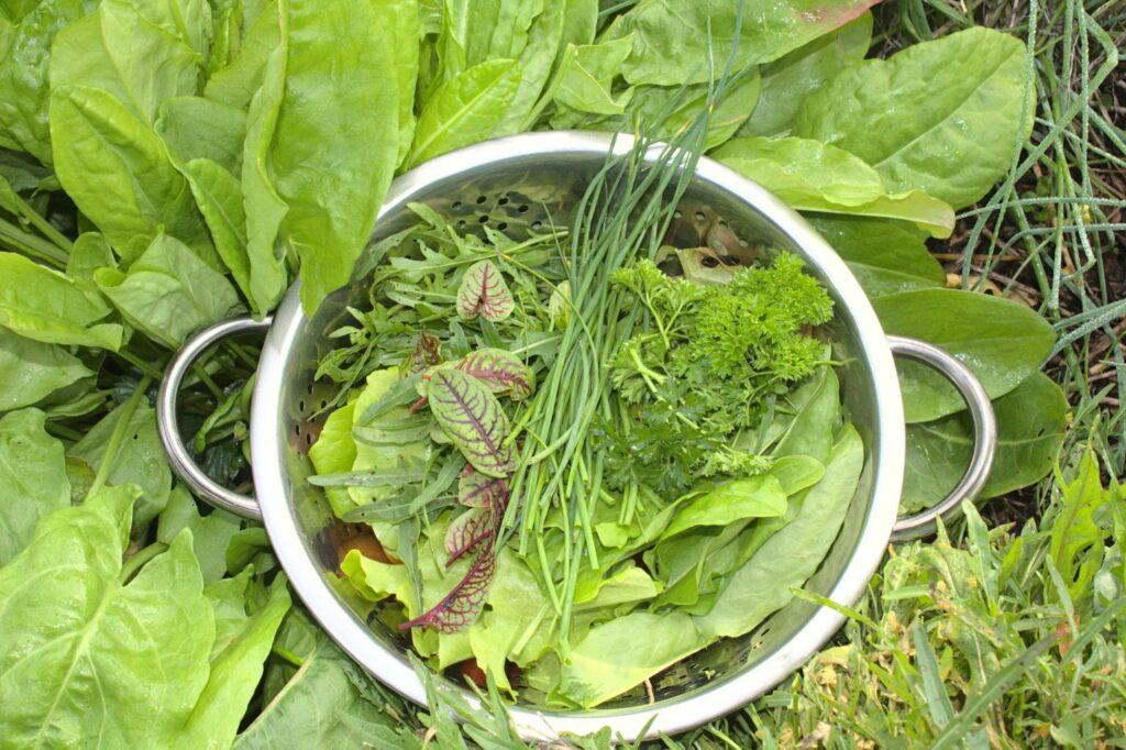 Salat mit Blutampfer