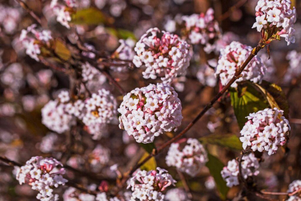 Schneeballförmige Blüten des Duftschneeballs