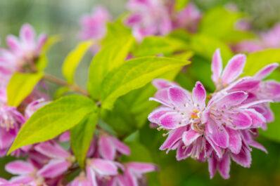 Deutzie: Sorten, Blütezeit & Pflege