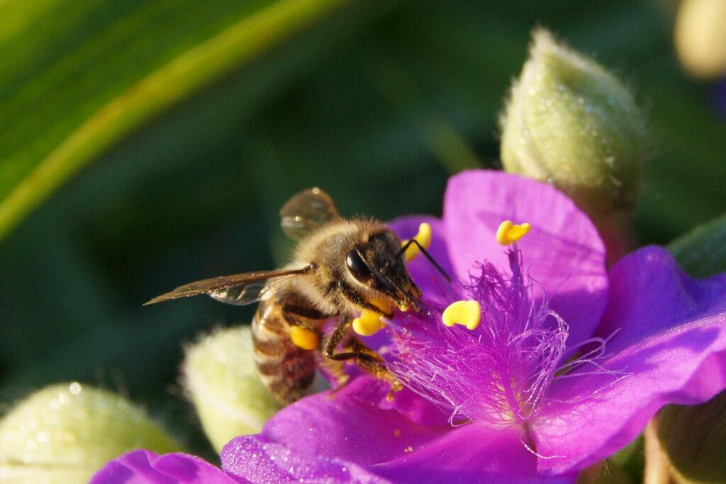 Biene auf Dreimasterblume