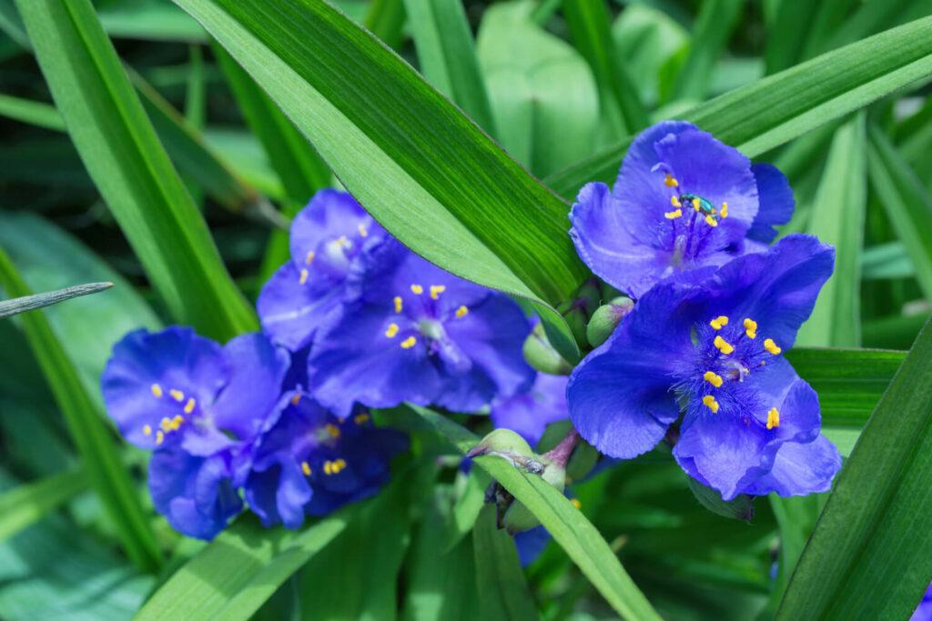 Blaue Dreimasterblume
