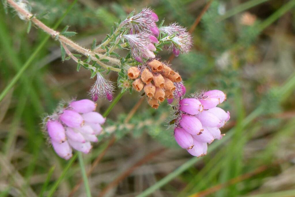 Vertrocknete Blüte der Glockenweide