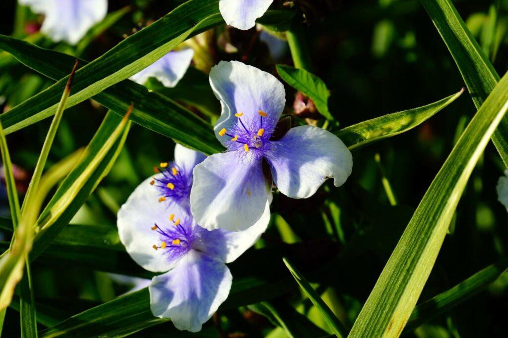 Blüte der Sorte 'Bilberry Ice'