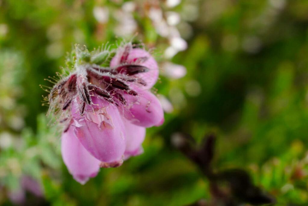 Pinke Blüten einer Glockeheide