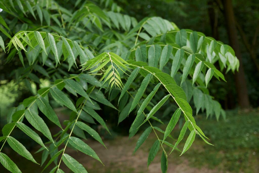 Schwarznuss-Blätter