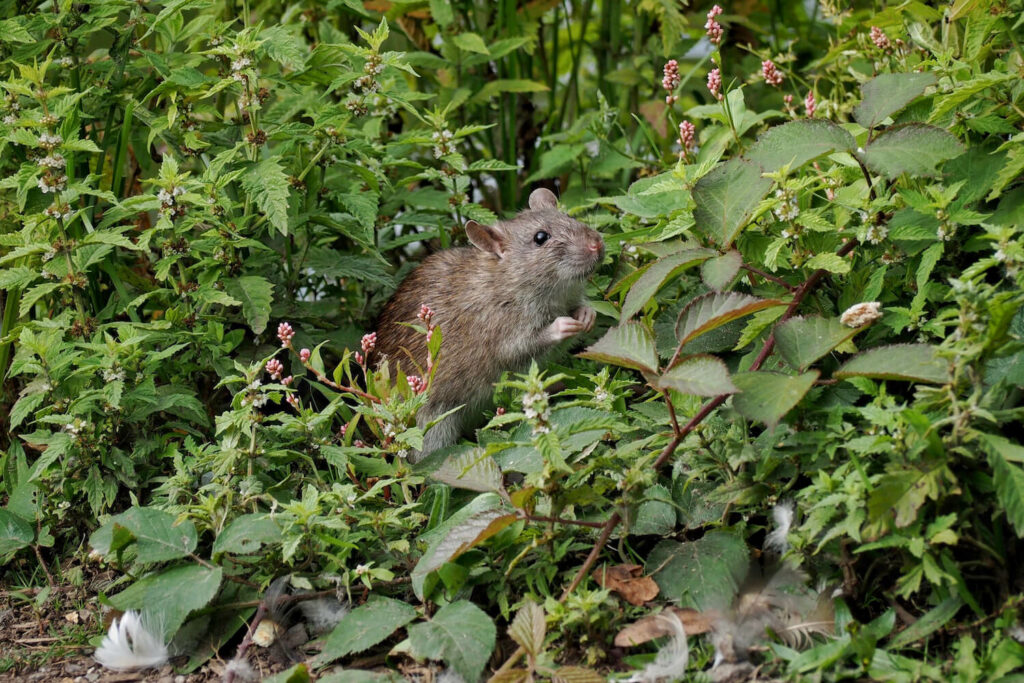 Ratte im Garte