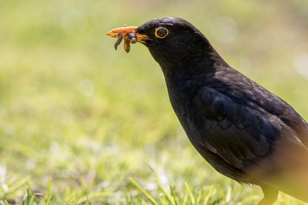 Vogel mit Wurm im Schnabel