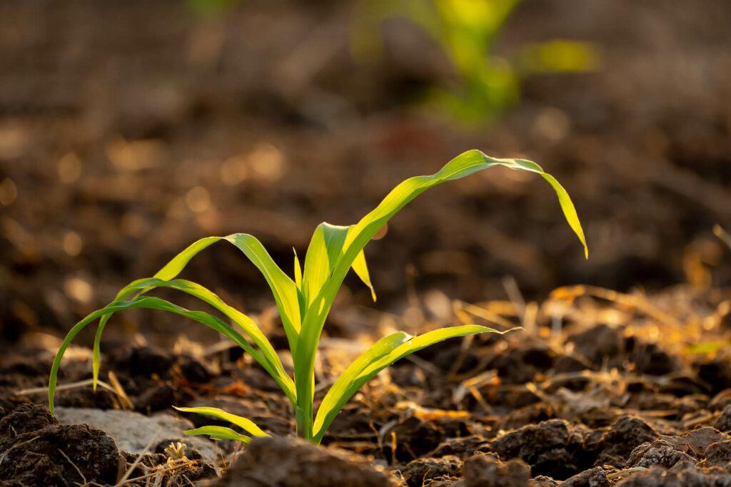 Mais-Jungpflanze