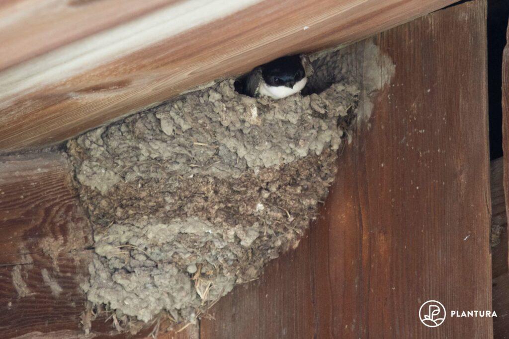 Nest der Mehlschwalbe