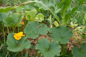 Milpa-Beet anlegen: Mischkultur aus Mais, Bohnen & Kürbis