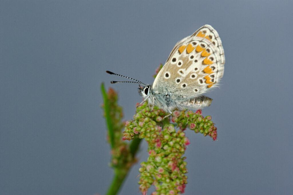 Schmetterling sitzt auf Sauerampfer