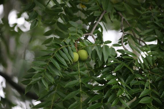 Schwarznuss: Pflanzen, Vermehren & Verwendung von Juglans nigra