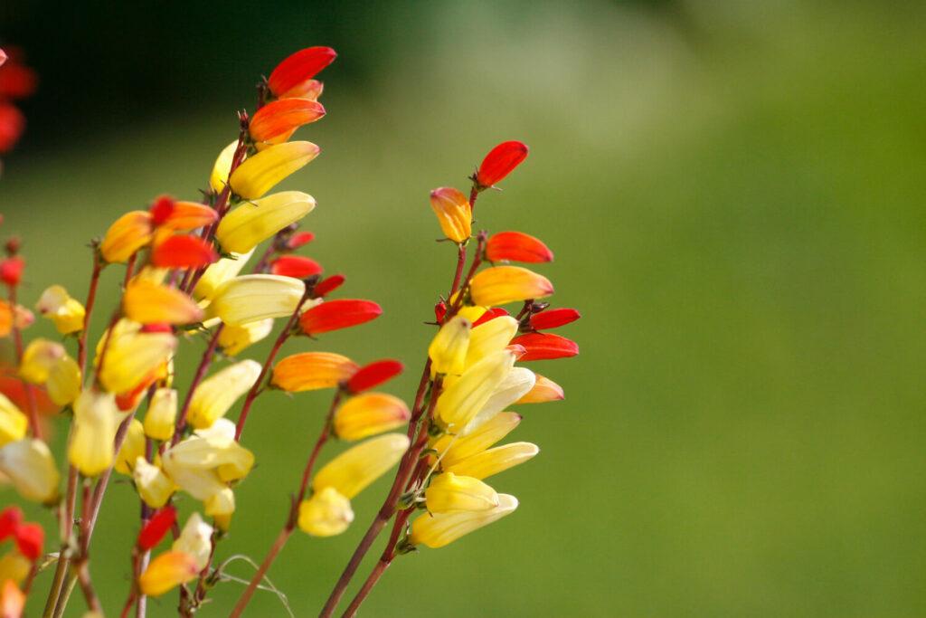 Blüten der Sternwinde