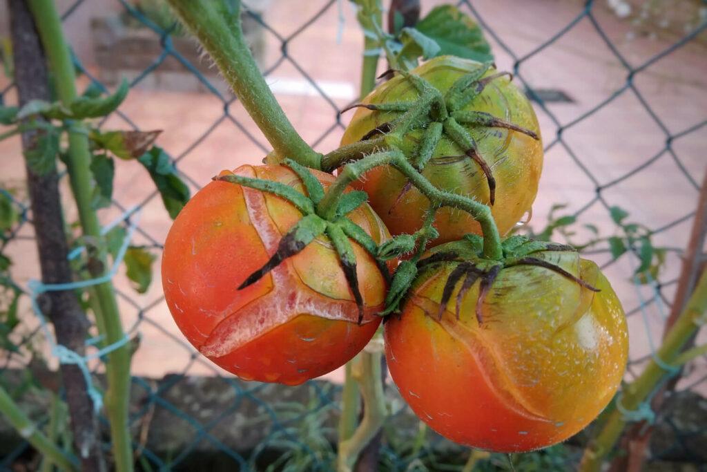 Aufgeplatzte Tomaten am Strauch